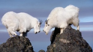 Twin Rocky Mountain Goats Olympic