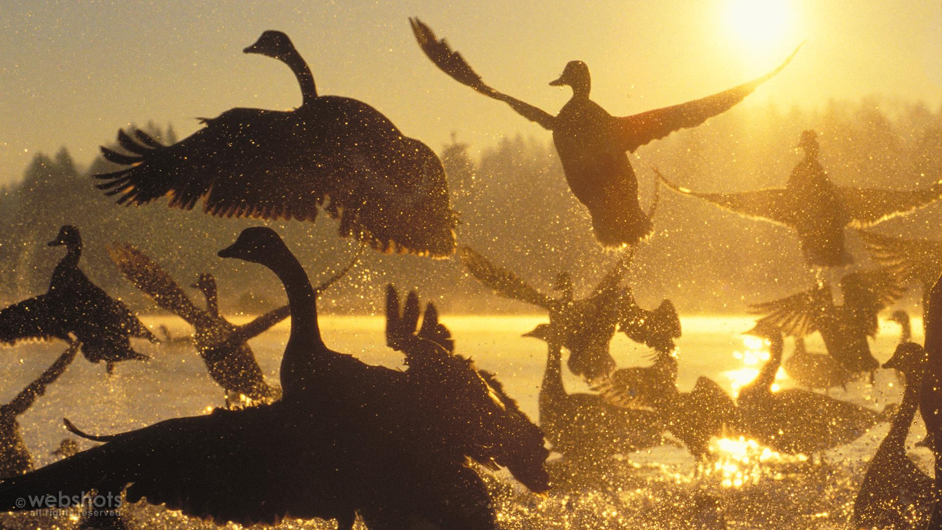 Canada Geese and Mallards at Sunrise