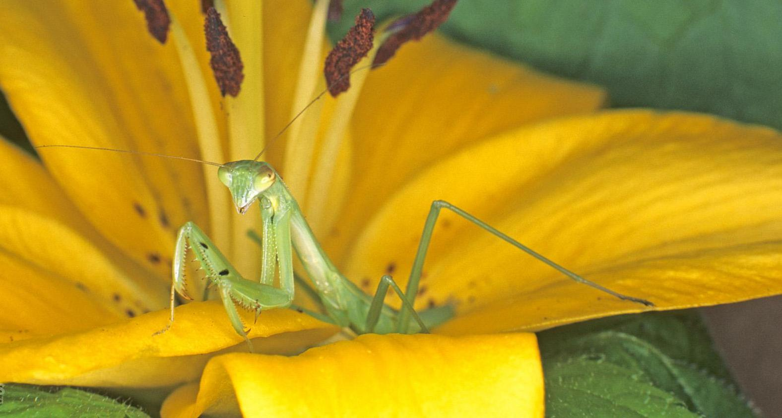 Praying Mantis on an Asiatic Lily